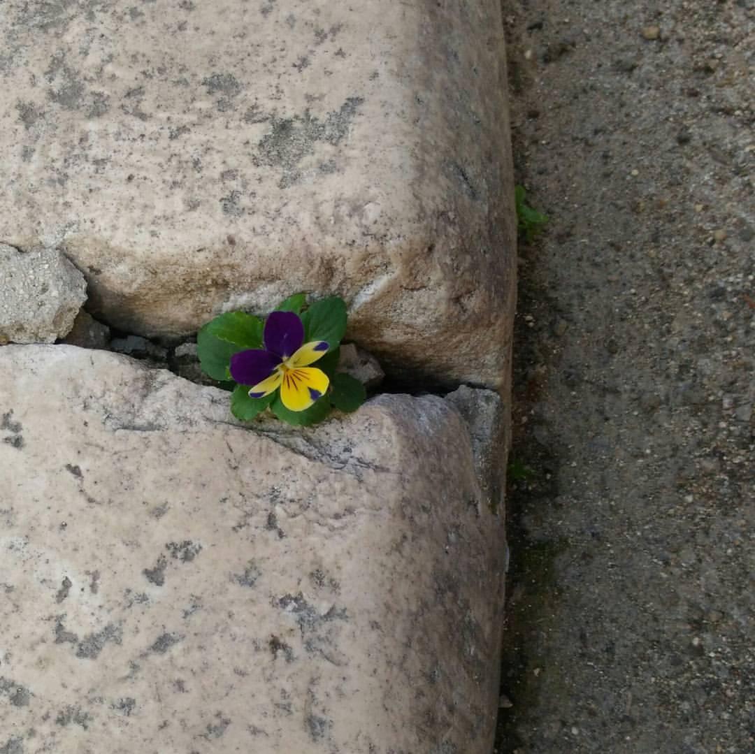 fiore mammola